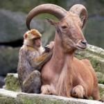 monkey_ram